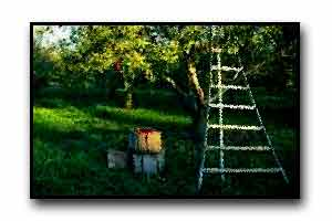 apple boxes and ladder